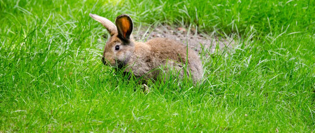 Hase im grünen Gras
